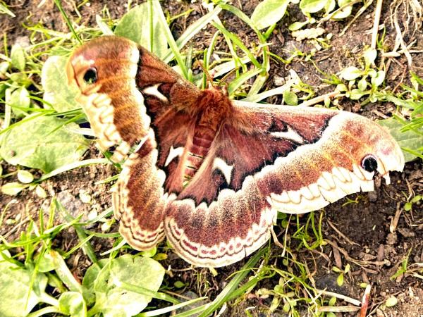 Promethea Silk Moth, female by Joline