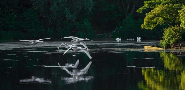 Morning Swans by chensuriashi