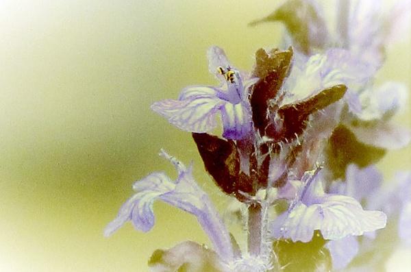 Bugleweed by helenlinda