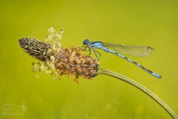 Blue damselfly by Angi_Wallace