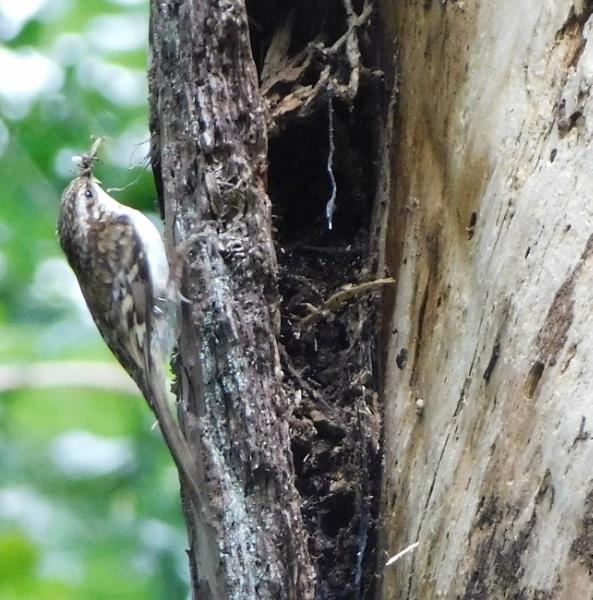 Tree creeper by SUE118