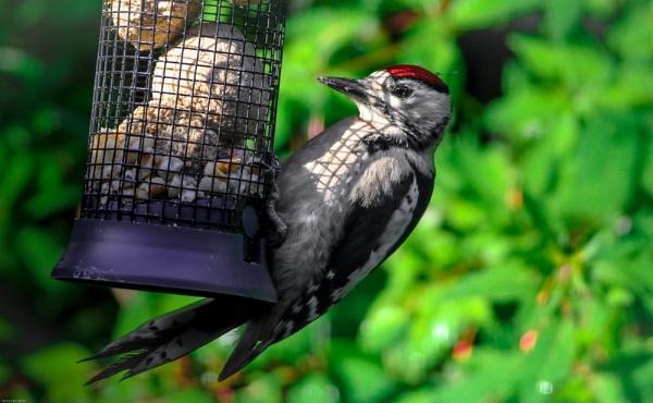 Woodpecker by kelvin7