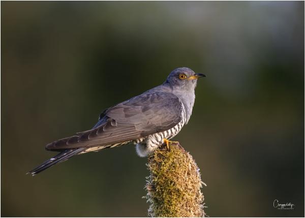 Cuckoo.... by craggwildlifephotography
