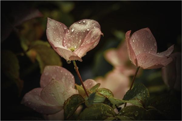 Pink Dogwood Flowers by Daisymaye