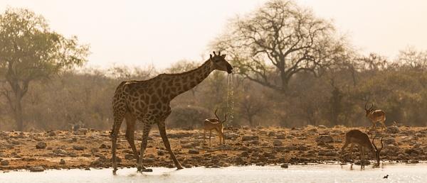 Drinking Giraffe by rontear