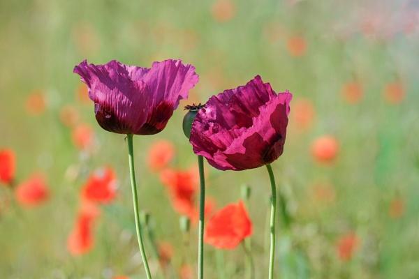 Purple poppy by 64Peteschoice