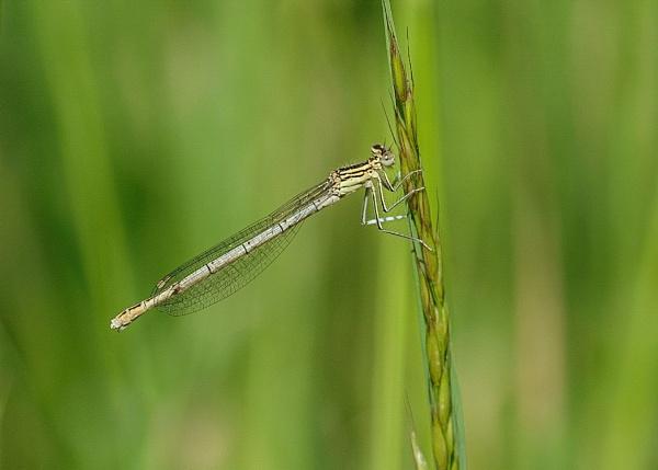 White legged Damselfly.Female by 64Peteschoice