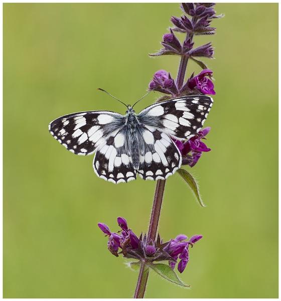 Marbled White - Melanargia galathea. by NigelKiteley