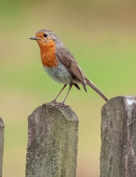 Rockin\' Robin by ctxuk