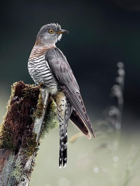 Female Common Cuckoos by Jamie_MacArthur