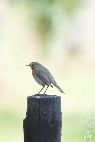 Robin in the local allotments