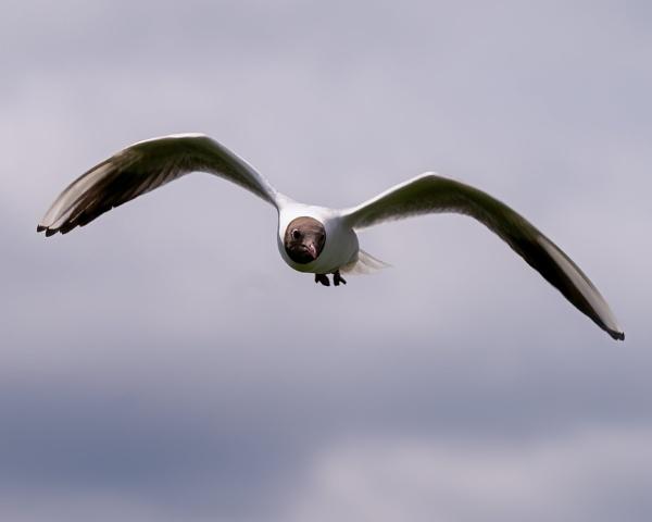 Black Headed Gull by bobbyl