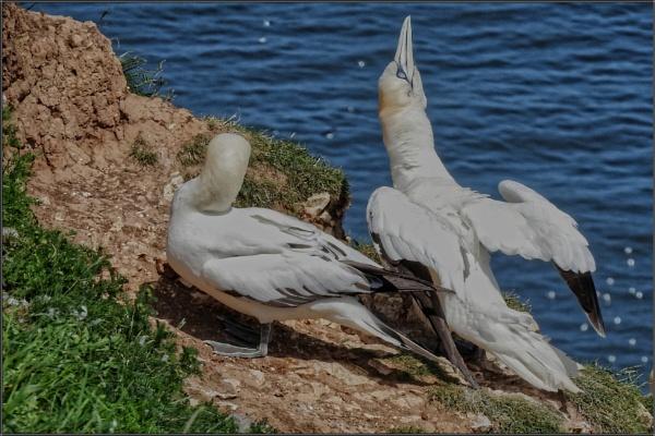 Gannets at Bempton Cliffs by PhilT2