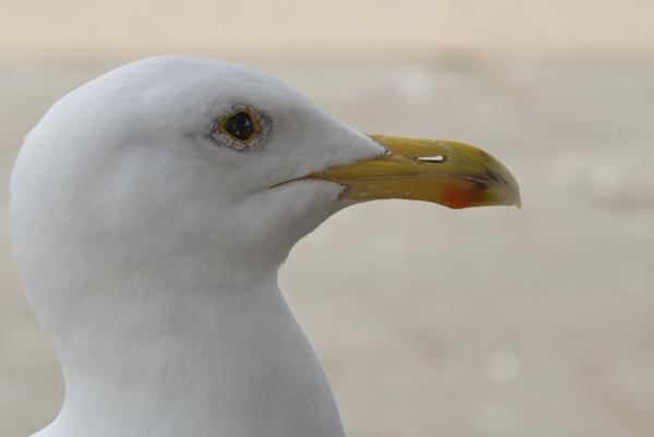 Gull Mugshots by Alan_Baseley
