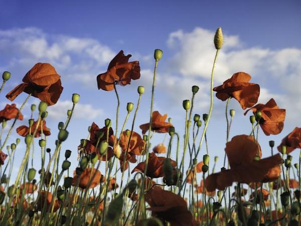 Poppies by CraigWalker
