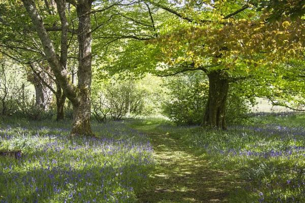 The Bluebell Path by Irishkate
