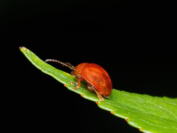 Artichoke beetle (Sphaeroderma  rubidum) (thanks to Steveo28 for the id) by chavender
