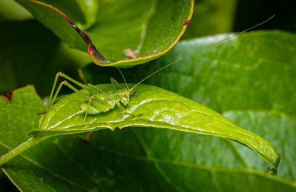 Bush Cricket by chavender