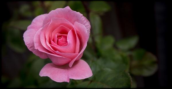 Garden Rose III by Yogendra