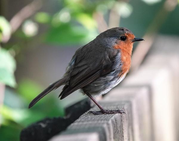 Bovey Tracey Robin by JanOByrne