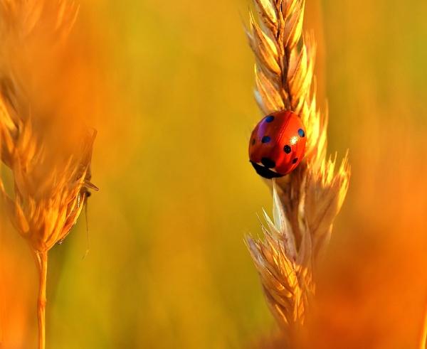 Ladybird by georgiepoolie