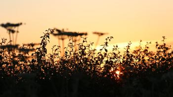 Hedgerows at sunset.