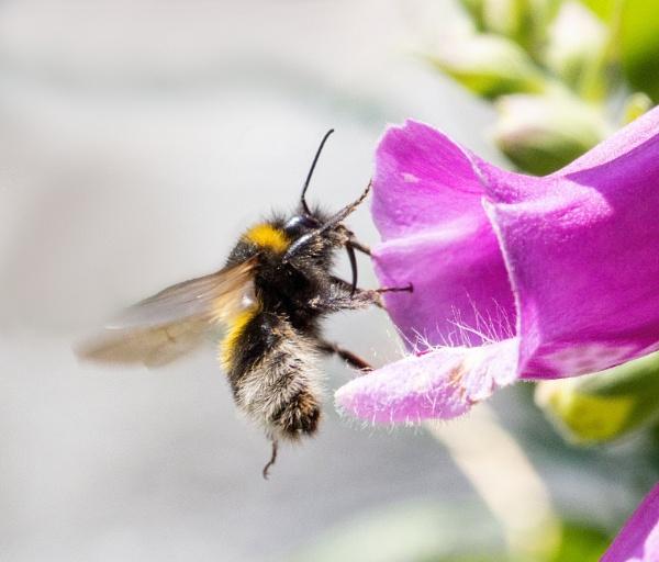 Foxglove Bee by doverpic