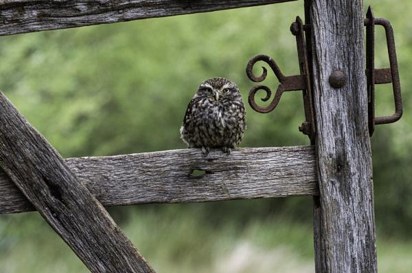 Little Owl On Gate by ChristopherA