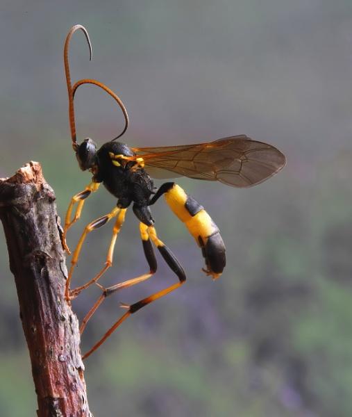 Ichneumen wasp by Steveo28