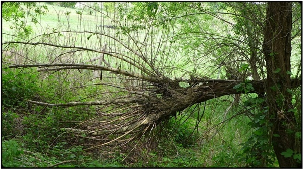 broken willow by FabioKeiner