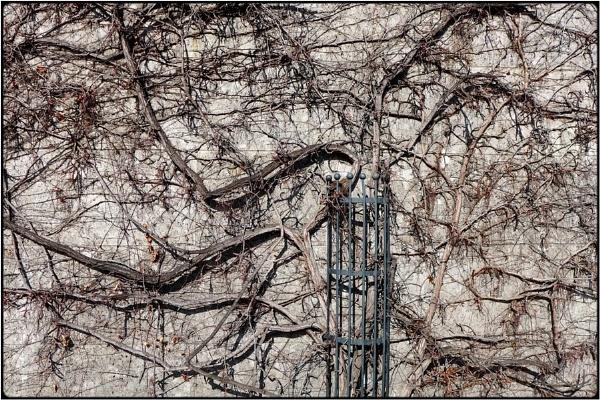 dry ivy-wall by FabioKeiner