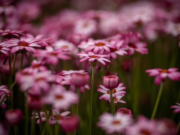 Rhodanthemum Flowers by victorburnside