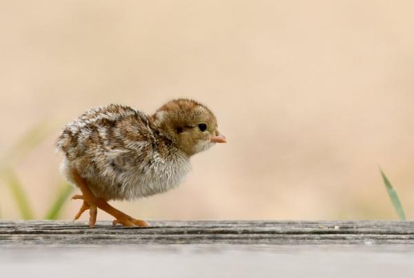 Red Legged Partridge Chick by AlexAppleby
