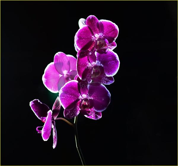 Phalaenopsis hybrid by fotobee