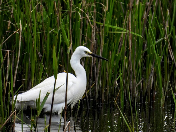 little egret by colin2019