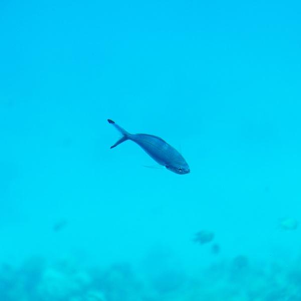 Underwater view of swimming fish and algae by rninov