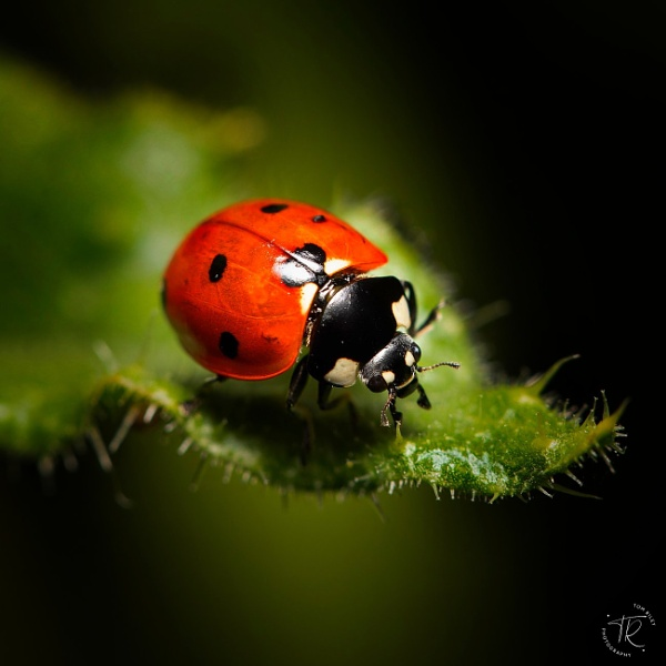 Ladybird by tomriley