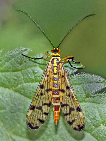 Scorpion Fly by bobpaige1