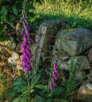 Bells Of purple