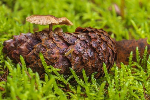 Fichtenkappe (Strobilurus esculentus), Pilz auf Fichtenzapfen, D by mongol