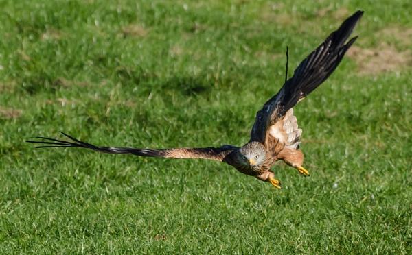 Red Kite by allan56