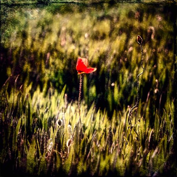 Poppy Again by adagio