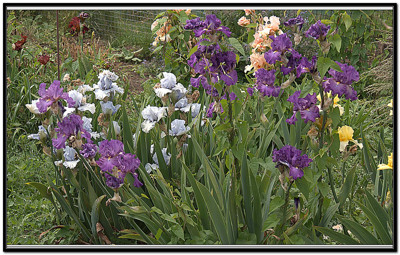 Iris 51