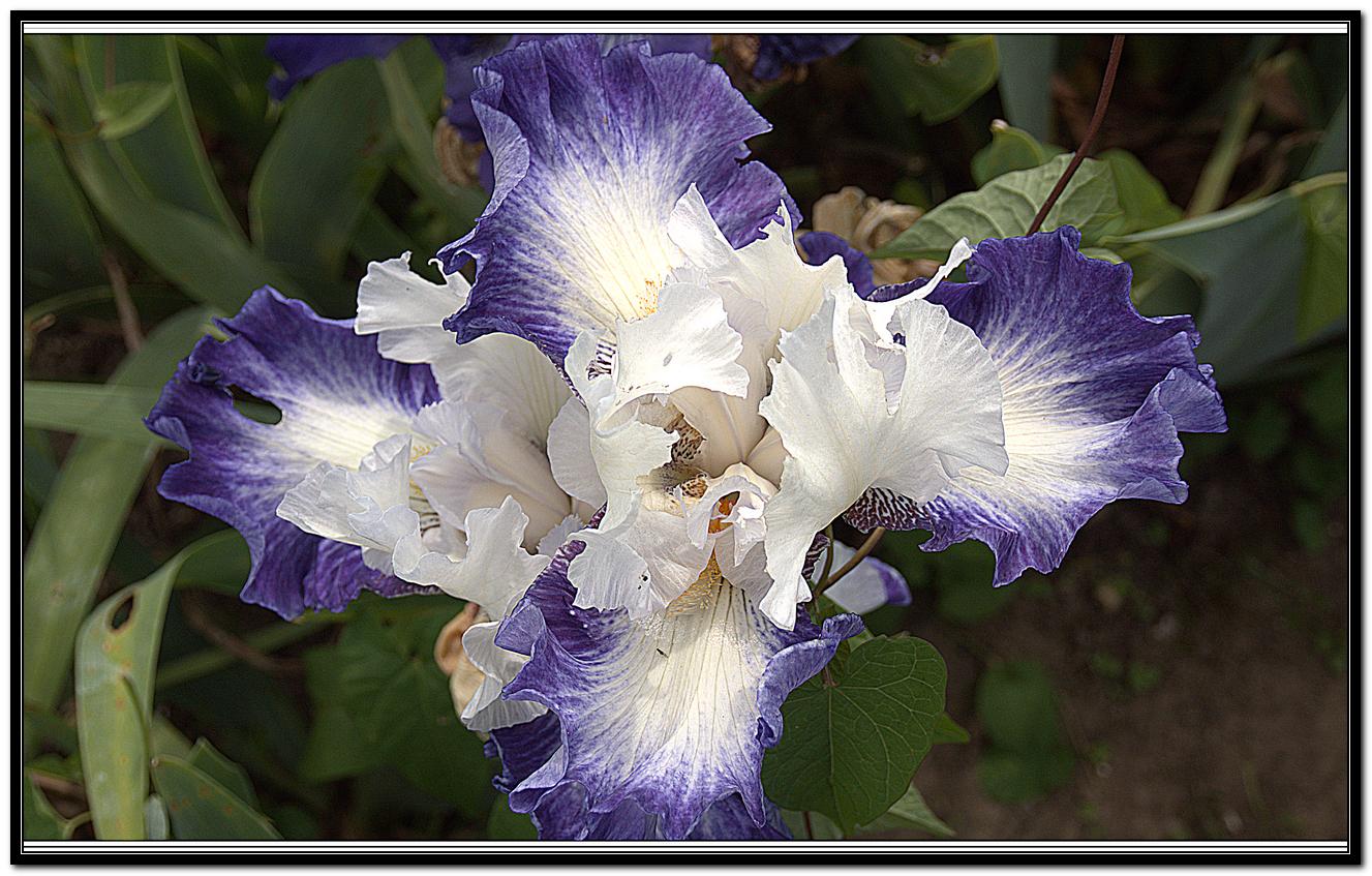 Iris 53