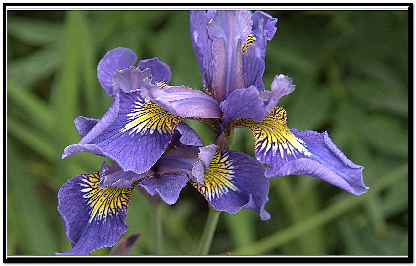 Iris 56