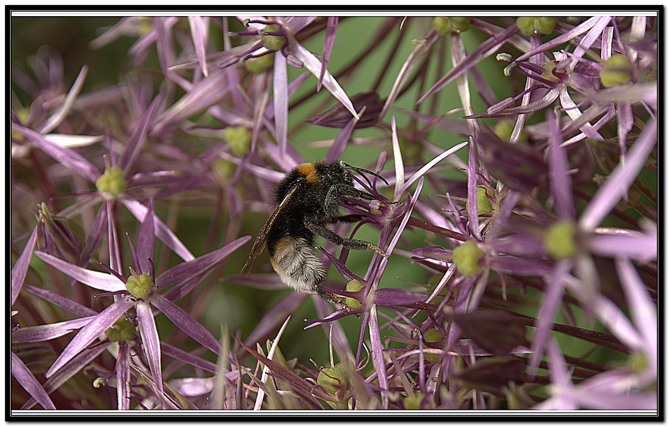 Bee on  Allium 57