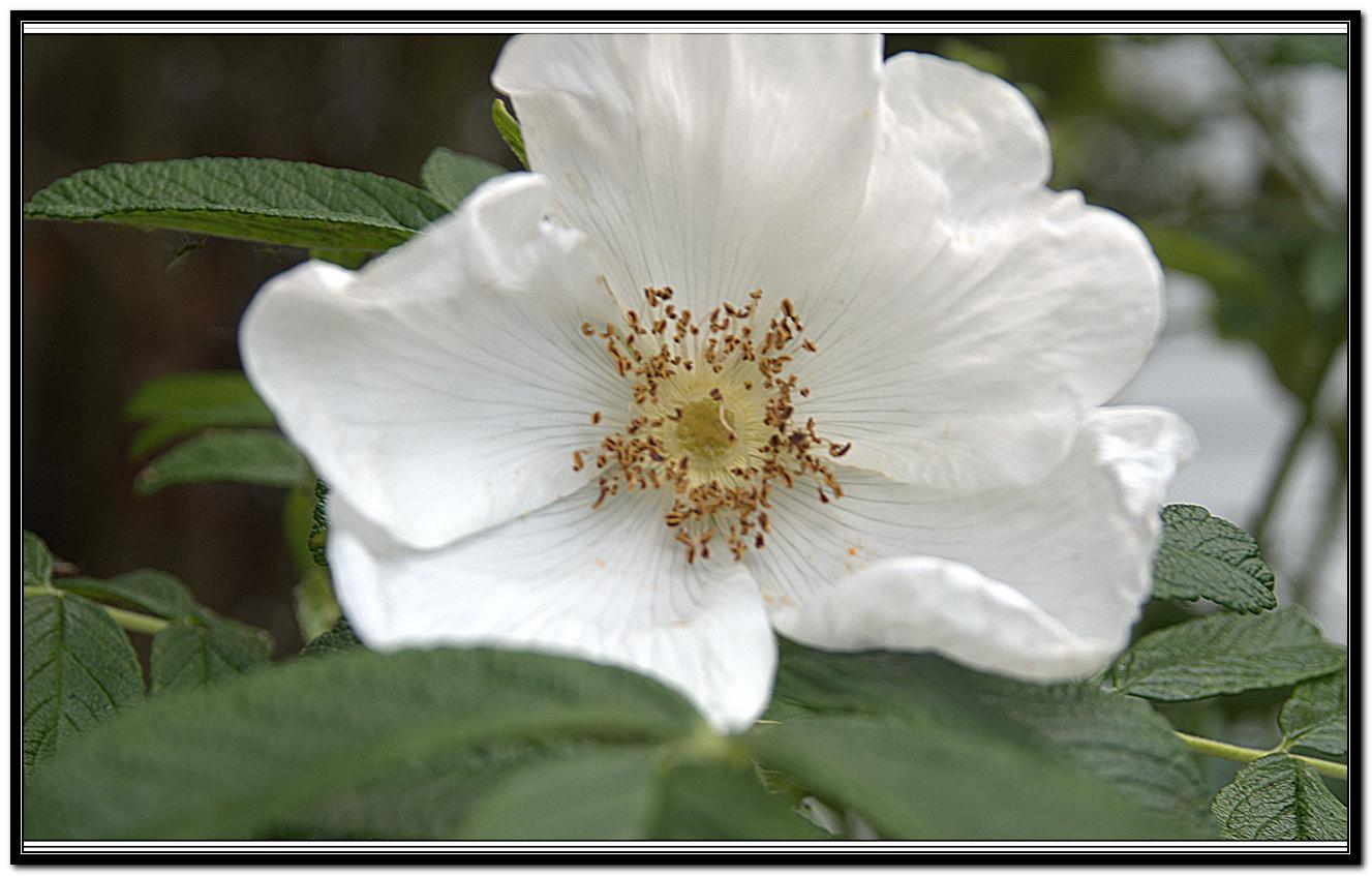 Wild Rose Briar 59