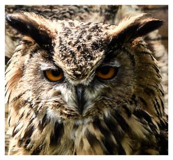 Close up of an Owl