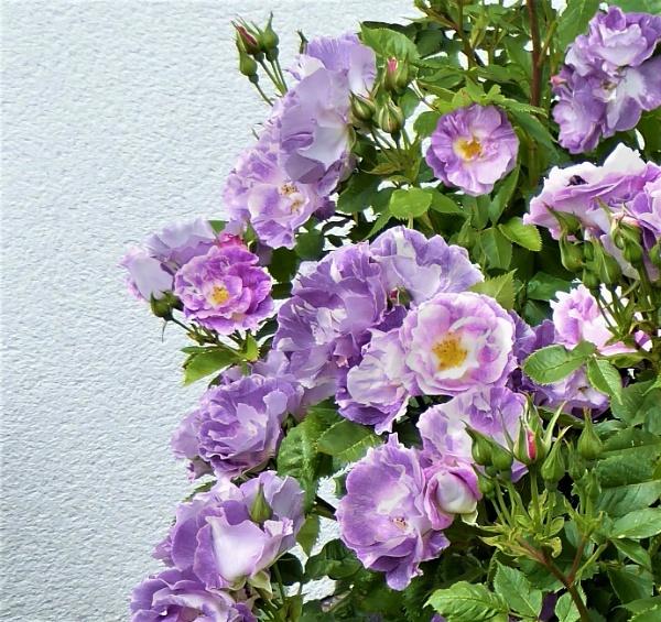 June Roses by BarbaraR