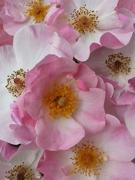 Wild Roses by BarbaraR